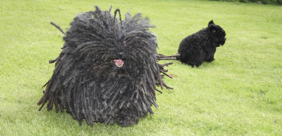 Jesper-adult-pup