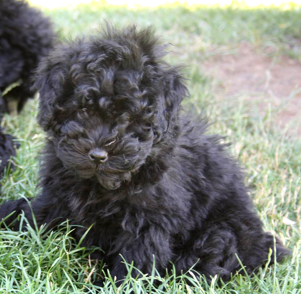 Looking for a Puli Puppy – Puli Club of America