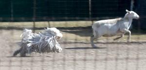Raki-herding