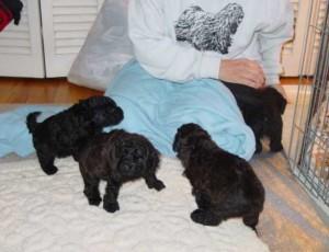 black_pups_blue_blanket