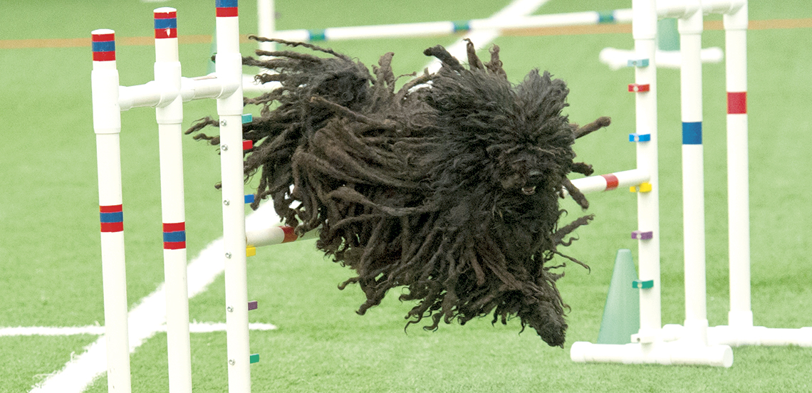 Your Puli can do Agility!
