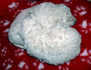 white_puli_pups